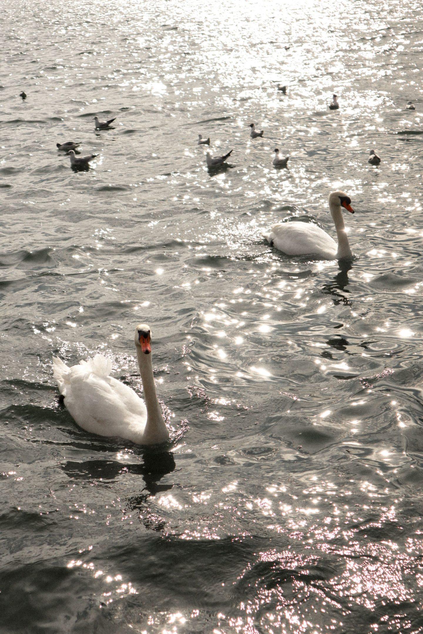 Swans in Lake Zurich